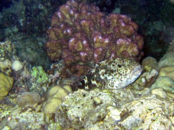 Reuzenkoraalklimmer | Stocky hawkfish | Cirrhitus pinnulatus | Fanadir Zuid (nachtduik) | 25-06-2010