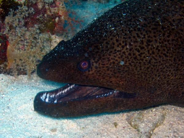 Reuzenmurene | Giant moray | Gymnothorax javanicus | Abu Ramada Noord | 19-09-2009