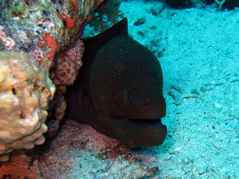 Reuzenmurene | Giant moray | Gymnothorax javanicus | Abu Ramada Noord | 22-09-2009