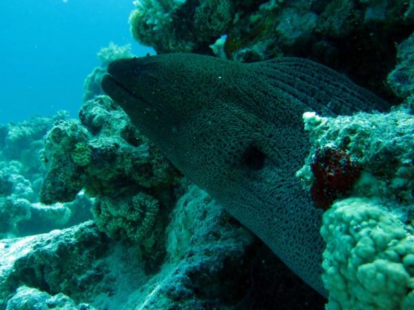 Reuzenmurene | Giant moray | Gymnothorax javanicus | Abu Ramada Zuid | 26-06-2010