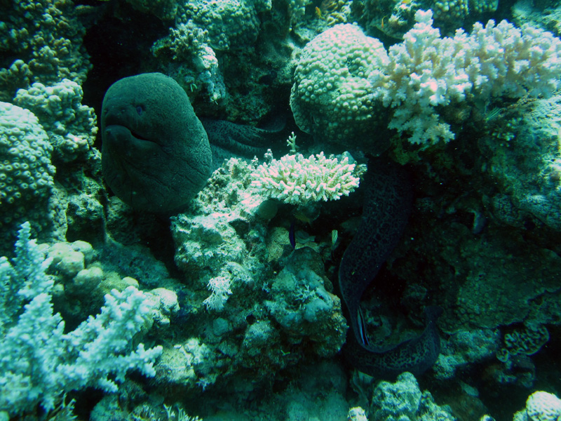 Reuzenmurene   Giant moray   Gymnothorax javanicus   Fanous West   24-06-2010