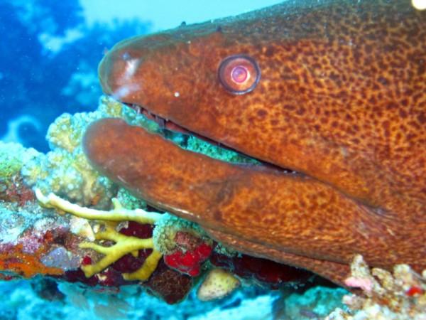 Reuzenmurene | Giant moray | Gymnothorax javanicus | Gota Abu Ramada Oost | 23-09-2009