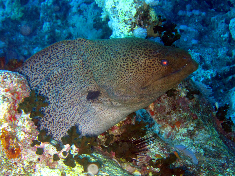 Reuzenmurene | Giant moray | Gymnothorax javanicus | Shaab Ayman > Cave Abu Ramada | 17-09-2009