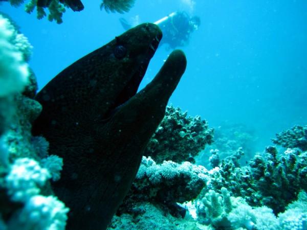 Reuzenmuren | Giant moray | Gymnothorax javanicus | Small Giftun | 28-06-2010