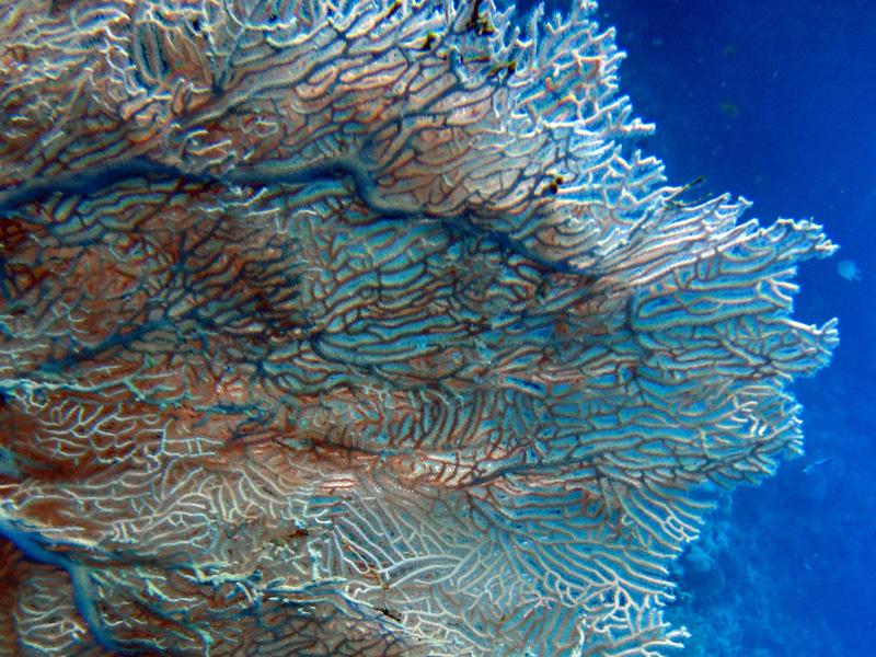 Reuzenwaaierkoraal   Giant sea fan   Annella mollis   Abu Ramada Noord   19-09-2009