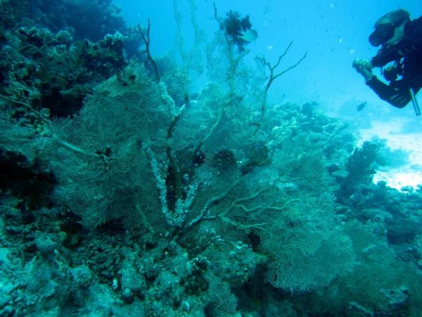 Reuzenwaaierkoraal | Giant sea fan | Annella mollis | Ben el Gebel | 16-09-2009