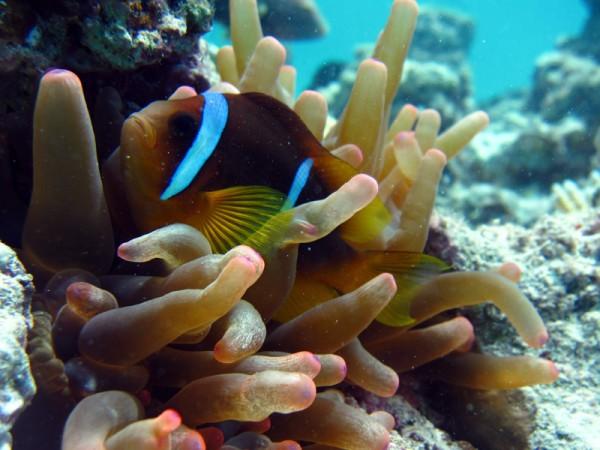 Rode Zee-anemoonvis   Red Sea anemonefish   Amphiprion bicinctus   Marsa Abu Galawa (Snorkeltrip)   29-06-2010