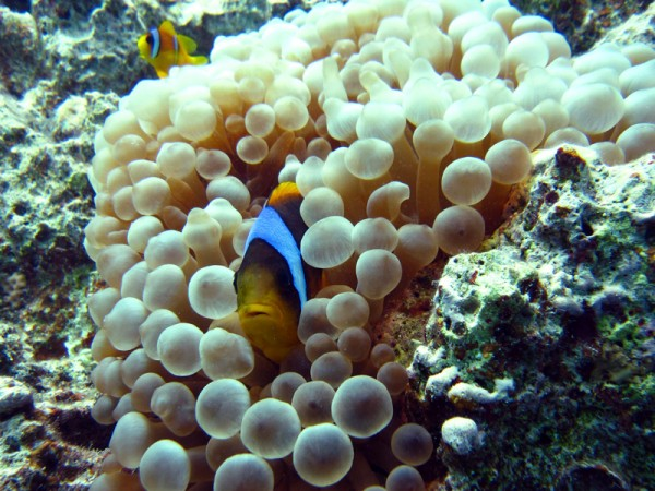 Red Sea anemonefish   Amphiprion bicinctus   Small Giftun   23-09-2009