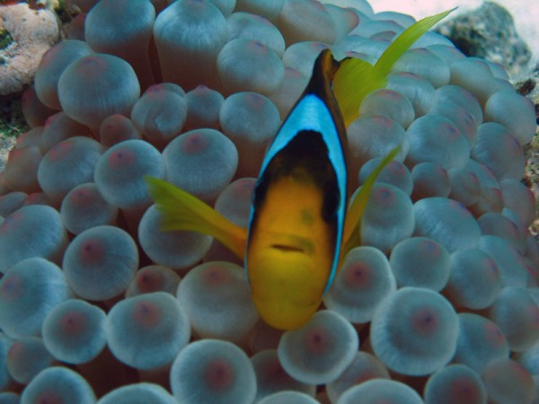 Rode Zee-anemoonvis op een Blaasjesanemoon   Red Sea anemonefish @ Bubble-tip anemone   Amphiprion bicinctus @ Entacmaea quadricolor   Ben el Gebel   21-09-2009
