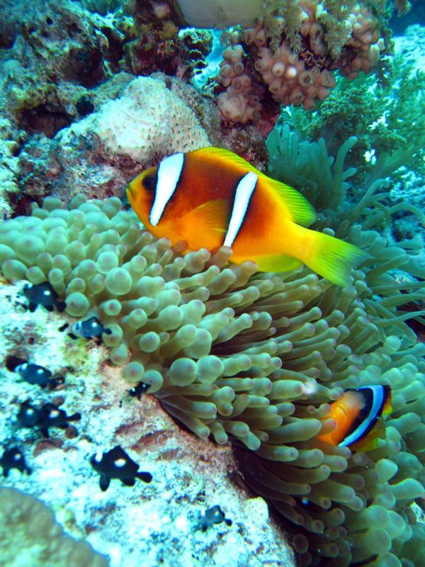Rode Zee-anemoonvis   Red Sea anemonefish   Amphiprion bicinctus   Ben El Gebel   26-06-2010