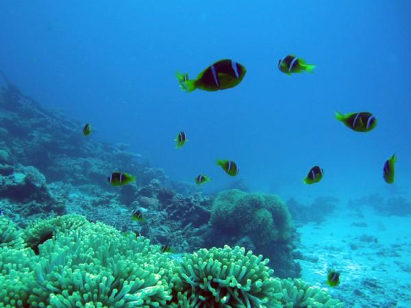 Rode Zee-anemoonvissen   Red Sea anemonefish   Amphiprion bicinctus   Ben el Gebel   21-09-2009
