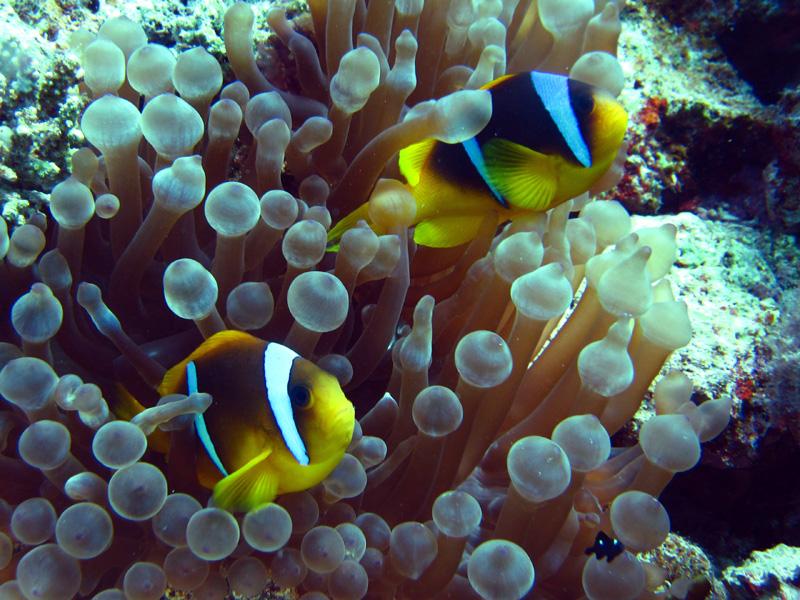 Rode Zee-anemoonvissen   Red Sea anemonefish   Amphiprion bicinctus   Gota Abu Ramada West   24-01-2011