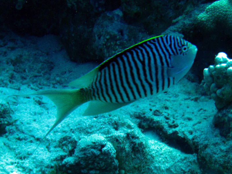 Rode Zee-lierstaartkeizervis | Zebra angefish | Genicanthus caudovittatus | Small Giftun | 22-03-2010
