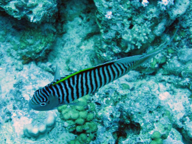 Rode Zee-lierstaartkeizervis (man) | Zebra angefish | Genicanthus caudovittatus | Abu Ramada Zuid | 22-03-2010