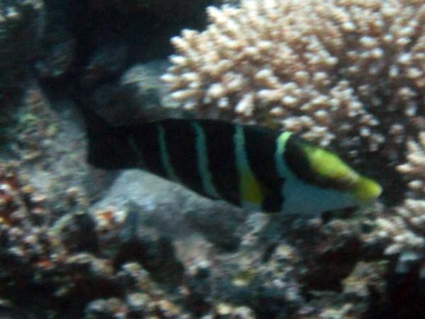 Rode Zeediklipvis | Red Sea thicklip wrasse or Barred thicklip wrasse | Hemigymnus sexfasciatus | Small Giftun | 28-06-2010