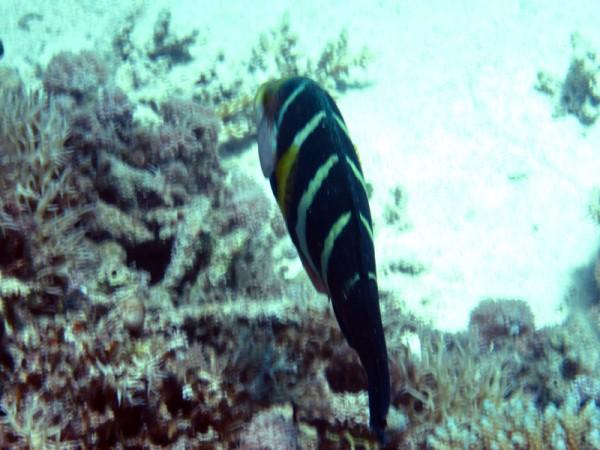Rode Zeediklipvis (juv)   Red Sea thicklip wrasse or Barred thicklip wrasse   Hemigymnus sexfasciatus   Turtle Bay   27-06-2010