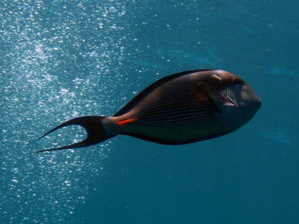 Rode Zeedoktervis | Sohal surgeonfish | Acanthurus sohal | Gota Abu Ramada Oost |- 28-06-2010
