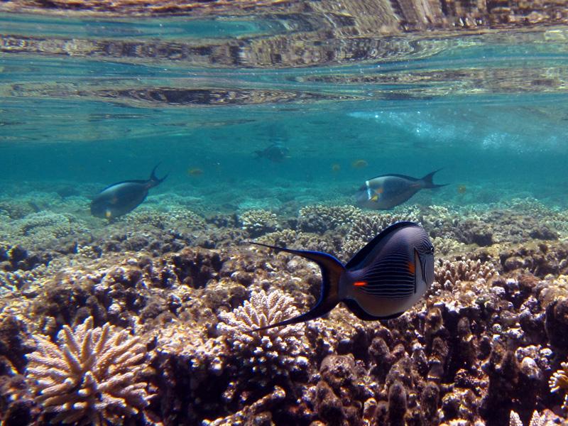 Rode Zeedoktervis | Sohal surgeonfish | Latin: Acanthurus sohal | Sachwa Abu Galawa (Snorkeltrip) | 29-06-2010
