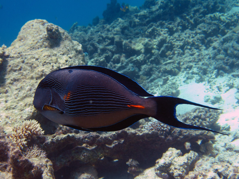 Rode Zeedoktervis | Sohal surgeonfish | Acanthurus sohal | Turtle Bay | 27-06-2010