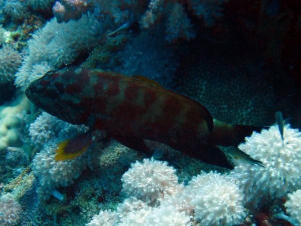 Rode Zeetandbaars | Halfspotted hind | Cephalopholis hemistiktos | Erg Abu Ramada Oost | 25-06-2010