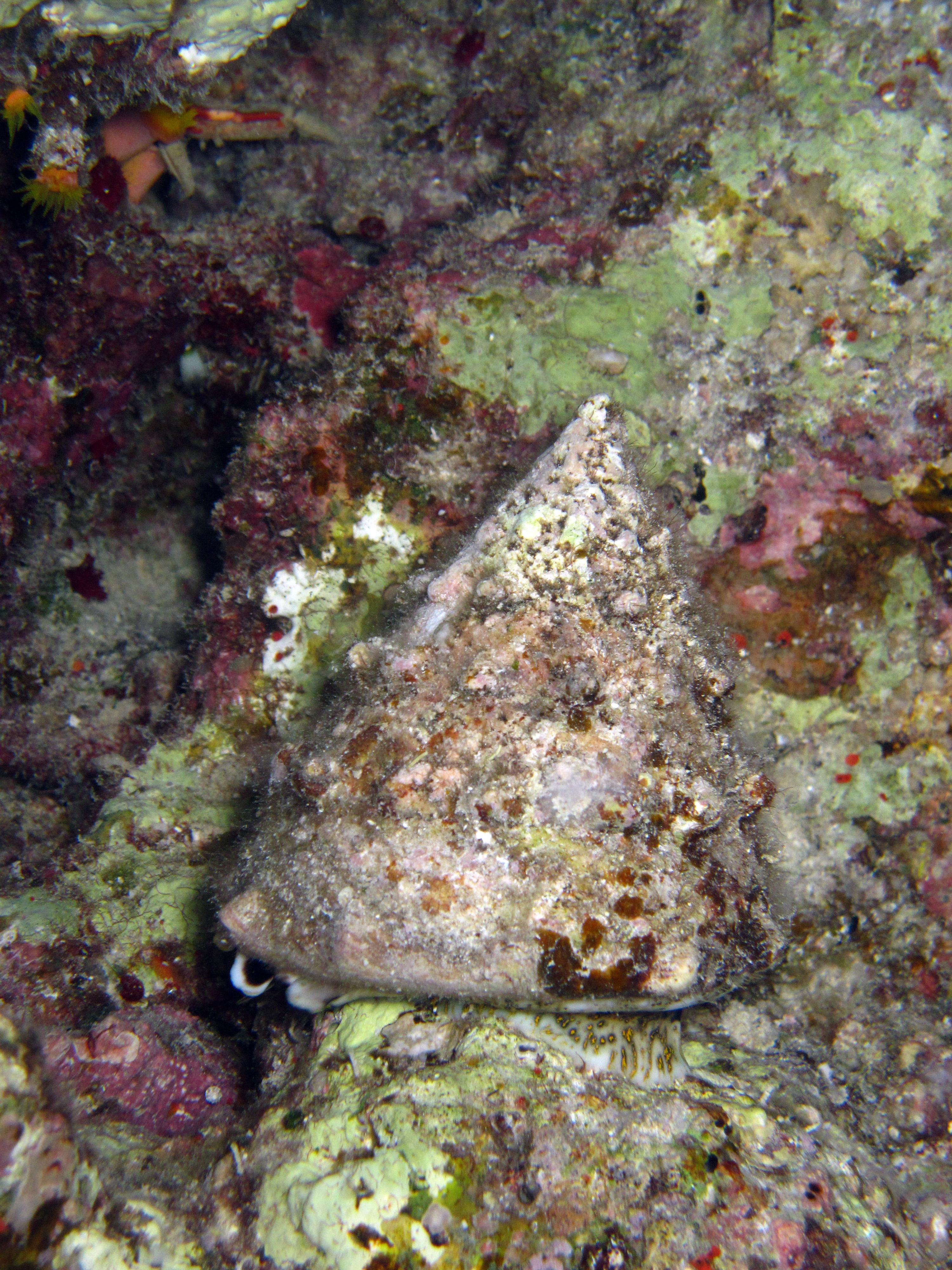 Rode Zeetolhoren | Red Sea topshell | Tectus dentatus | Fanadir Zuid (nachtduik) | 19-09-2009