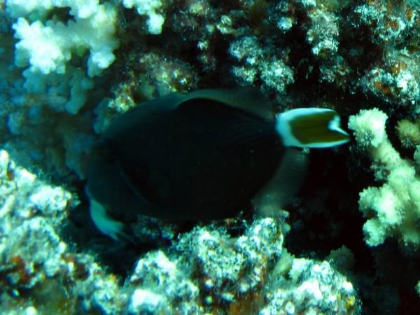 Rode Zeetrekkervis | Bluethroat triggerfish | Sufflamen albicaudatus | Gota Abu Ramada Oost | 23-09-2009