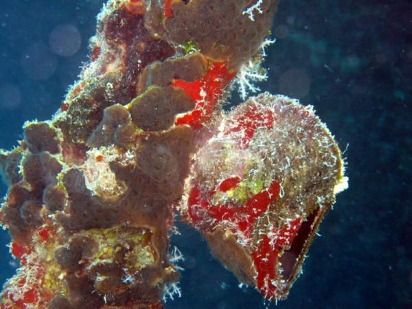 Rode Zeevleugeloester   Red Sea winged oyster   Pteria aegyptiaca   Balena   14-09-2009