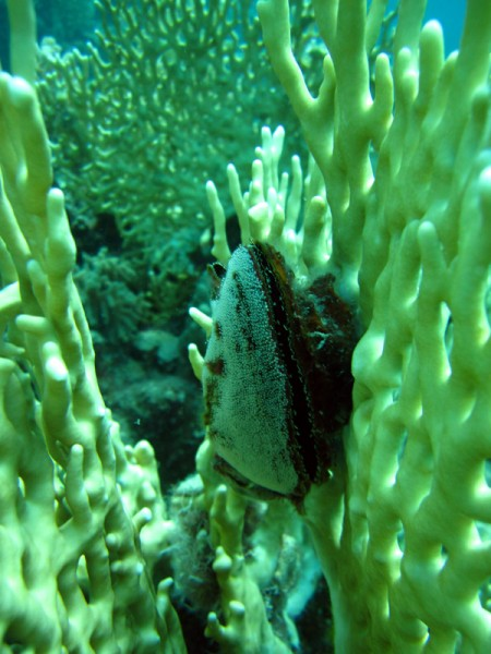 Rode Zeevleugeloester | Red Sea winged oyster | Pteria aegyptiaca | Fanous West | 24-06-2010