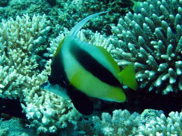 Rode Zeewimpelvis | Red Sea bannerfish | Heniochus intermedius | Ben el Gebel | 21-03-2010