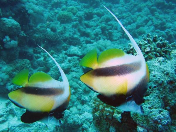 Rode Zeewimpelvis | Red Sea bannerfish | Heniochus intermedius | Small Giftun | 23-09-2009