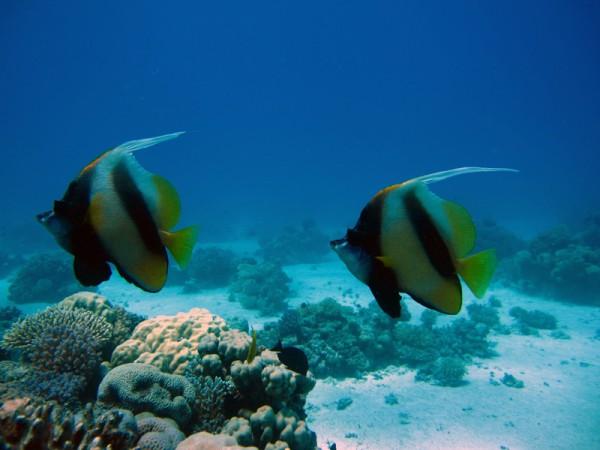 Rode Zeewimpelvissen   Red Sea bannerfish   Heniochus intermedius   Gota Abu Ramada Oost   28-06-2010