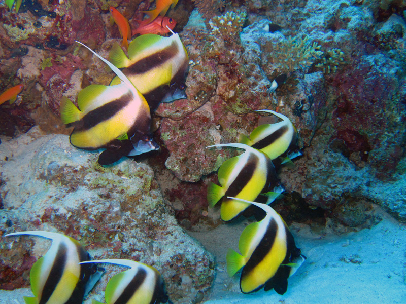 Rode Zeewimpelvis | Red Sea bannerfish | Heniochus intermedius | Shaabrurh Umm Gamar | 21-01-2011