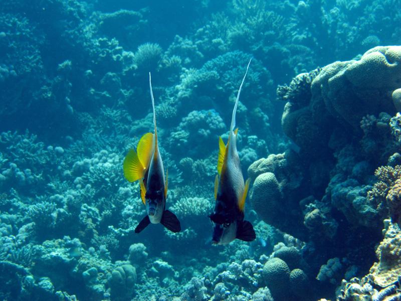 Rode Zeewimpelvis   Red Sea bannerfish   Heniochus intermedius   Turtle Bay   27-06-2010