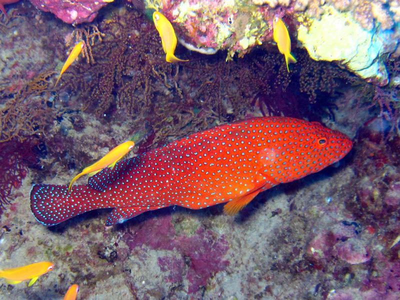 Rode koraalbaars | Coral hind | Cephalopholis miniata | Abu Ramada Noord | 22-09-2009