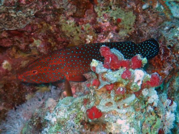 Rode koraalbaars | Coral hind | Cephalopholis miniata | El Aruk Gigi | 16-09-2009