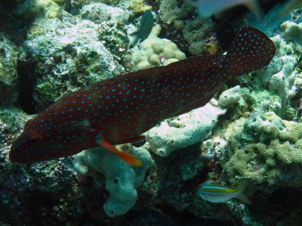 Coral hind | Cephalopholis miniata | El Aruk Gigi | 16-09-2009