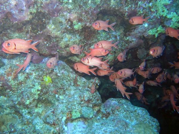 Rode soldatenvis   Blotcheye soldierfish   Myripristis murdjan   Shaab Ayman > Cave Abu Ramada   17-09-2009