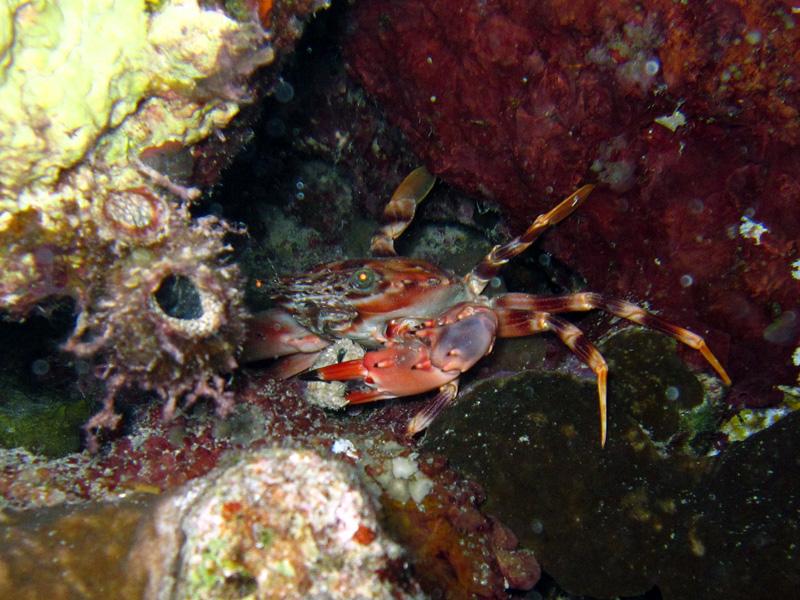 Rode zwemkrab   Red swimming crab   Charybdis erythrodactyla   Fanadir Zuid   25-06-2010