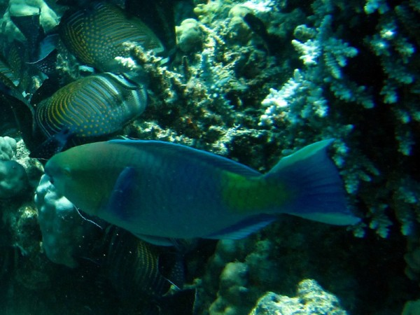 Roestnekpapegaaivis | Rusty parrotfish | Scarus ferrugineus | Shaab Sabina | 23-06-2010