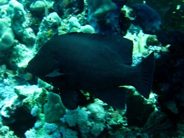 Roodbektandbaars   Redmouth grouper   Aethaloperca rogaa   Shaab Sabina   25-03-2010