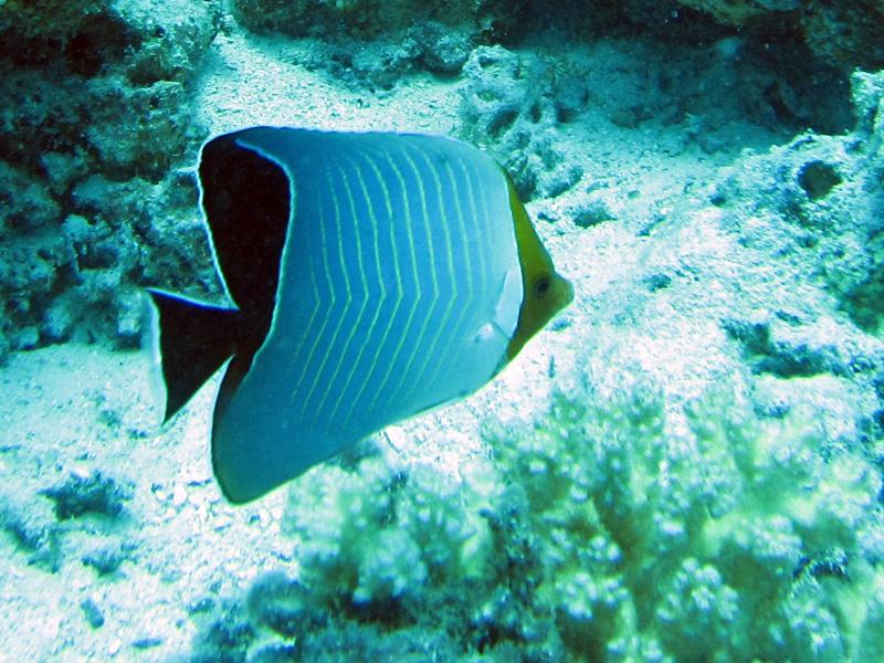 Roodkopkoraalvlinder | Orangeface butterflyfish | Chaetodon larvatus | Fanadir Noord | 27-06-2010