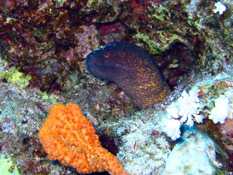 Roodkopmurene   Yellowmargin moray   Gymnothorax flavimarginatus   Abu Ramada Noord   22-09-2009