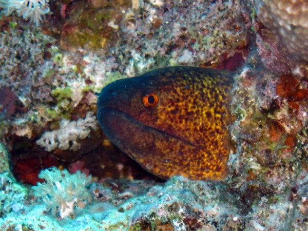 Roodkopmurene | Yellowmargin moray | Gymnothorax flavimarginatus | Gota Abu Ramada Oost | 23-09-2009