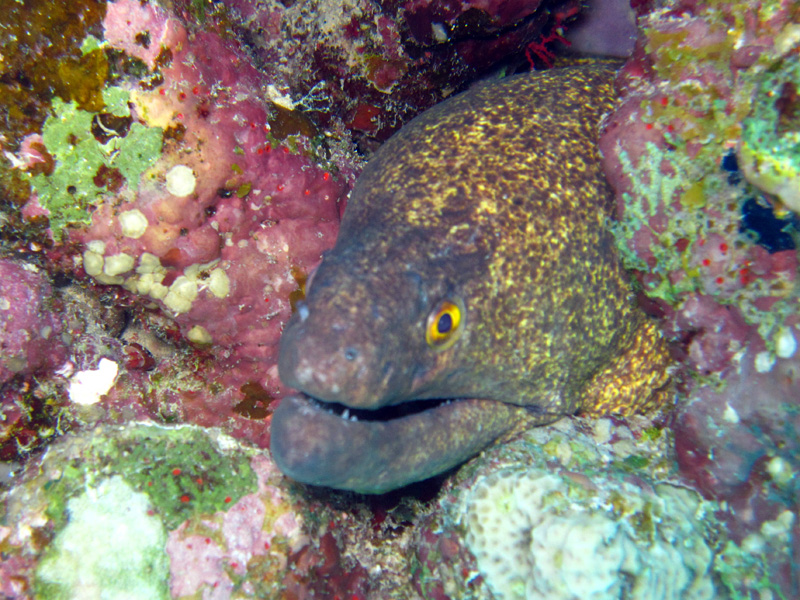 Roodkopmurene | Yellowmargin moray | Gymnothorax flavimarginatus | Ras Disha | 18-09-2009