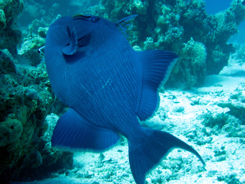 Roodtandtrekkervis | Redtooth triggerfish | Odonus niger | Ben El Gebel | 26-06-2010