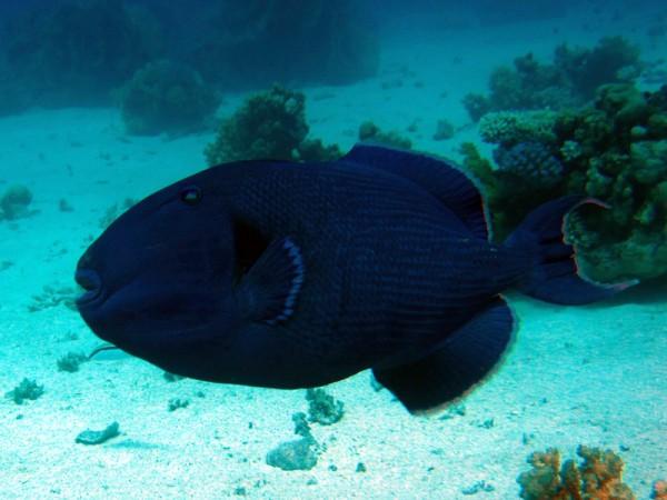 Blauwe trekkervis | Blue triggerfish | Pseudobalistes fuscus | Erg Abu Ramada Oost | 25-06-2010