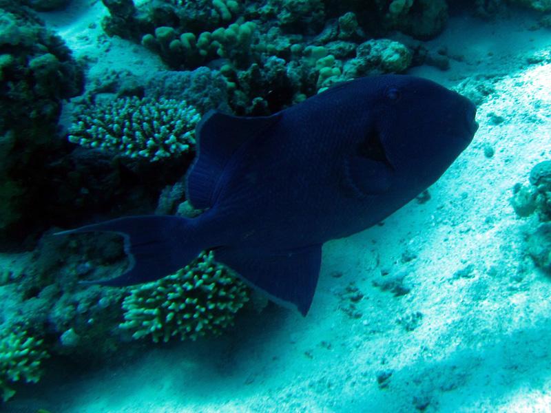 Roodtandtrekkervis | Redtooth triggerfish | Odonus niger | Erg Somaya | 25-06-2010