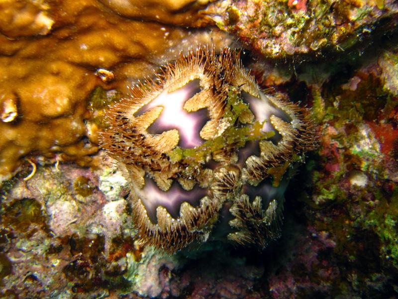 Rousseaus zee-egel | Rousseau sea urchin | Microcyphus rousseaui | Sachwa Abu Galawa (Snorkeltrip) | 29-06-2010