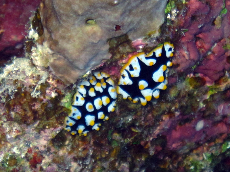 Rüppells wratslak | Ruppell's wart slug | Fryeria rueppelii | Shaab Ayman > Cave Abu Ramada | 17-09-2009