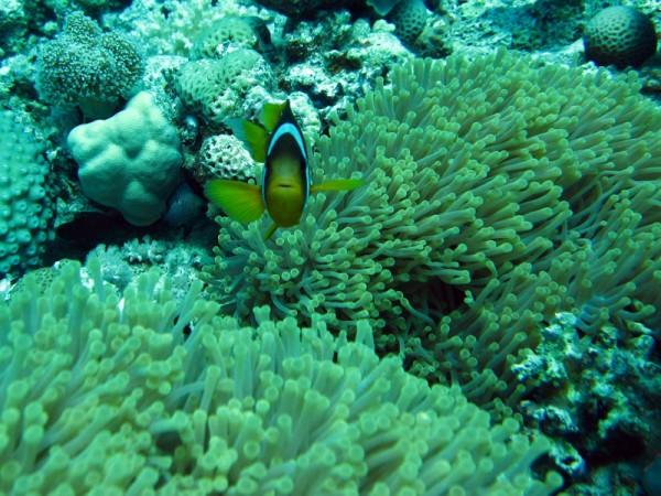 Schitterende anemoon | Ritteri anemone | Heteractis magnifica | Bananareef | 25-03-2010